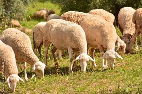 Fotografie, Obraz  Rebaño de ovejas pastando en el campo