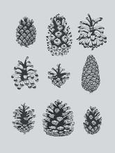 Pinecone Study Ink Illustration