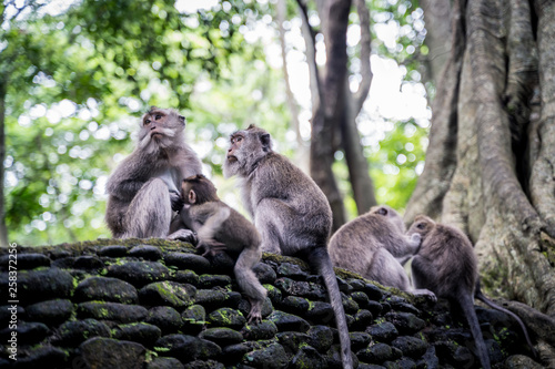 Fotografie, Obraz  Family of long-tailed macaques (Macaca fascicularis) in Sacred Monkey Forest, Ub