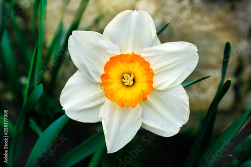 Beautiful delicate, single white petal daffodil flower with a golden, orange and yellow centre.