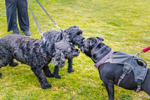 A Black Staffordshire Bull Terrier Dog Meets Two Black Spaniel Poodle Cross Dogs Whilst Out Walking On The Lead. The Terrier Is Wearing A Harness. They Are Meeting On A Grass Field.