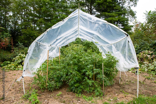 Outdoor legal marijuana grow  Plants underneath a home made