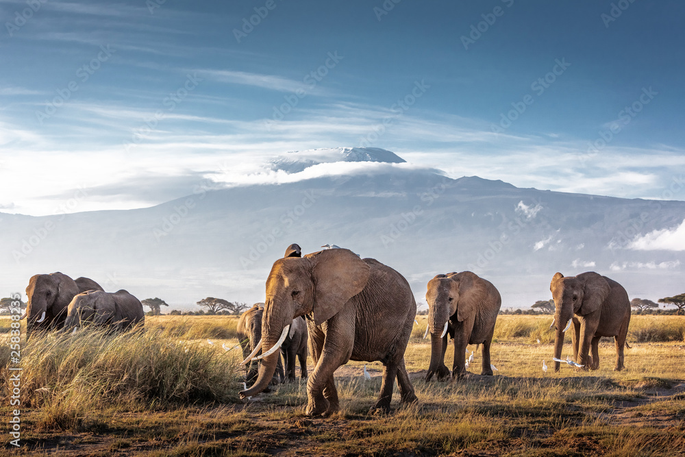 Fototapeta Herd of African Elephants in Front of Kilimanjaro