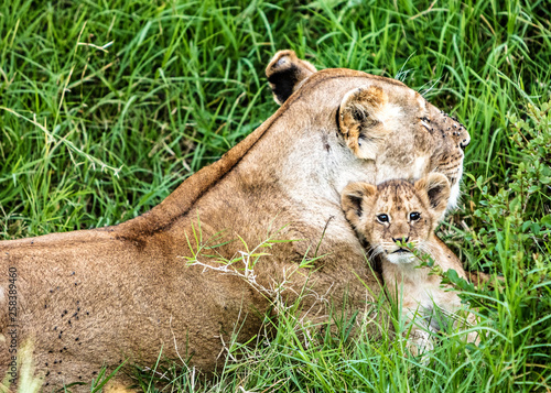Photo Mother Lion and Baby Cub in Kenya Africa