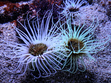 See Anemone