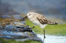 Sanderling In Water Looking For Marine Crustaceans And Fish To Eat