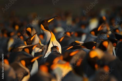 Vászonkép  Close up of king penguin in Falkland islands