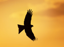 Silhouette Of A Red Kite In Fl...