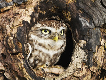 Little Owl Perched In A Tree Trunk