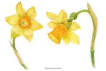 Daffodil Narcissus Branch