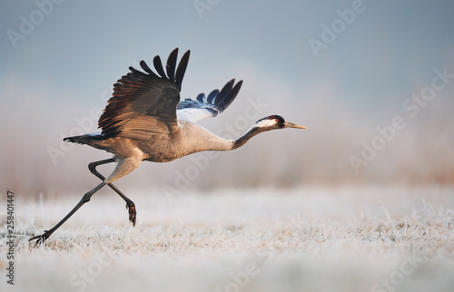 Foto auf Leinwand Vogel Common crane (Grus grus)