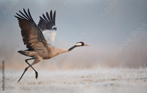Naklejki żurawie  common-crane-grus-grus
