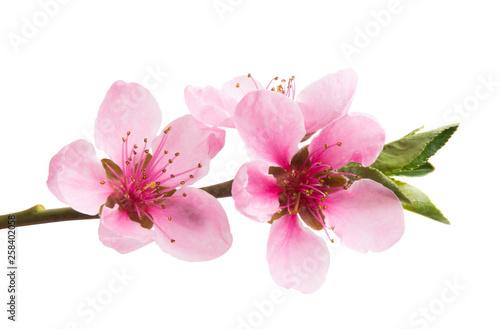 sakura flowers isolated Wallpaper Mural