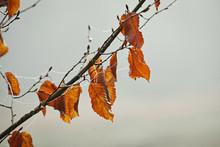 Orange Leaved Branches