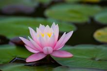 One Pink Lotus Flowers , Waterlily Closeup