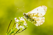 Orange Tip Butterfly Anthochar...