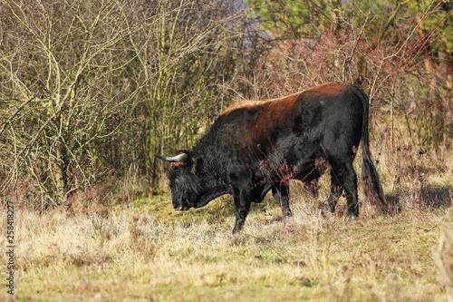 Fényképezés  Breed back the Aurochs into existence from the descendant domesticated cattle -