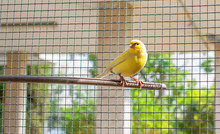 Canary Bird Inside A Cage Of Steel Wires Perched On A Wooden Stick