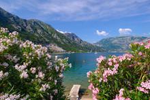 Montenegro, Bay Of Kotor, Donji Morinj, Flowering Oleander