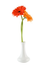 Beautiful Flower On A White Background. Orange Gerber Isolated On White Background.