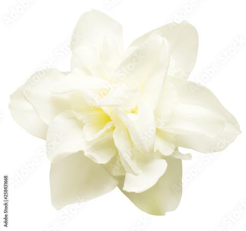 Photo sur Aluminium Narcisse White narcissus