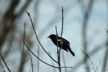 Red-winged Blackbird, Male, Pe...