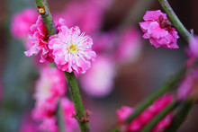 Pink Flower Blooms Of The Japa...