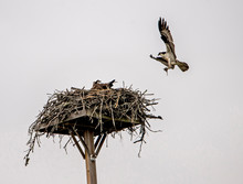 An Osprey Flying Into Her Nest With Food For Her Chicks.