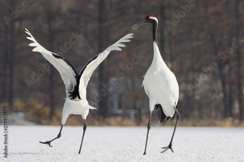 Photo  Red-Crowned Cranes, display of affection 舞う丹頂