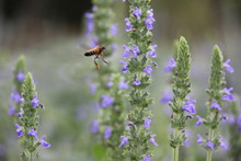 Purple Chia Flower (Salvia Hispanica)  With Bee, Crop Planting At The Garden On Tropical Zone Of Thailand.