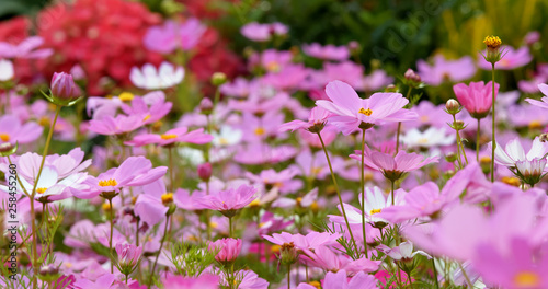Pink cosmos flower meadow