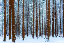 Tall Tree Trunks Covered In Snow In A Snowy Forest Scene, With Evergreen Trees In The Background, In Winter. Brown Bark And Blue Hues.