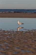 Gull Standing In Serene Tide P...
