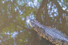 Asia Big Crocodile.