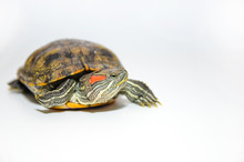 Red-Eared Slider Tortoise Isol...