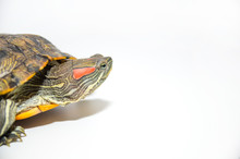Red-Eared Slider Tortoise Isol...