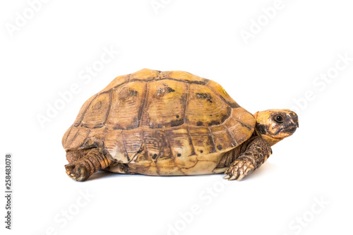 little brown turtle isolated on white background, close-up
