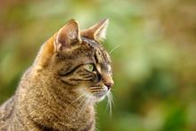 Portrait Of A Tabby Cat In Semi-profile