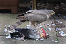 Female Sparrow Hawk With Feral...