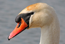Head Of White Mute Swans (Cygnus Olor) Close-up