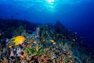 Fototapeta na wymiar A beautiful hard coral reef in shallow water at sunrise