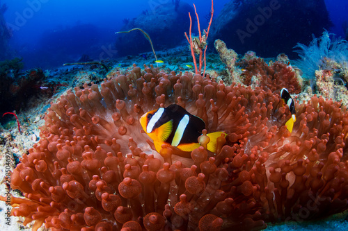 Banded Clownfish on a beautiful red anemone on a tropical coral reef Fototapete