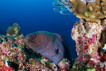 Giant Moray Eel Hidden In A Hole In A Tropical Coral Reef