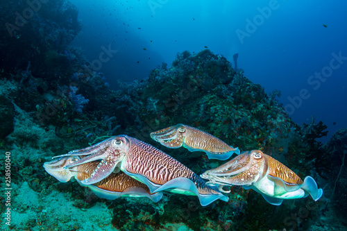 Mating Cuttlefish on a tropical coral reef at sunrise (Richelieu Rock)
