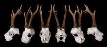 Roe Deer Buck Skull With Antlers At Many Angles Over Black Background