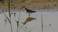 Curlew Sandpiper Feeding At Waters Edge Suffolk
