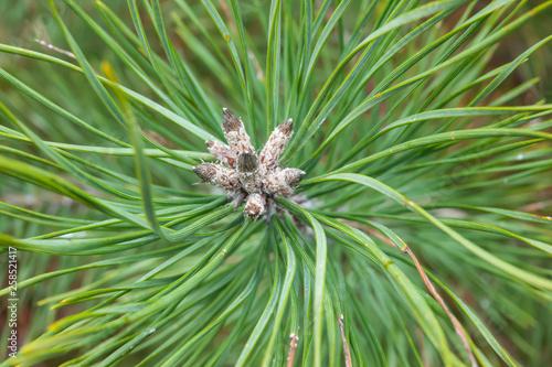 Fotografia, Obraz  Scots Pine Buds in Winter