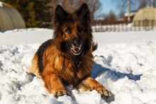 German Shepherd Dog. The Dog L...