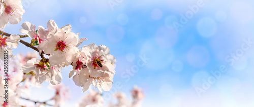Almond blossom on the Bergstrasse in Hesse Canvas Print