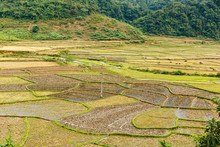 Rice Fields After Harvest, Pre...
